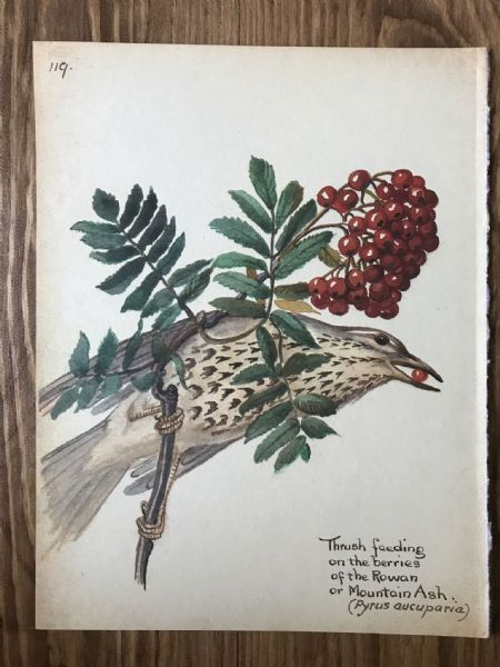 Thrush - Country Diary of an Edwardian Lady - Book Page -